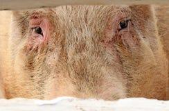 przygląda się świni Zdjęcia Royalty Free