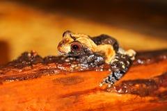 przygląda się żaby ampułę Zdjęcie Royalty Free