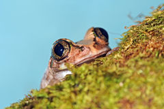 przygląda się żaby ampułę Obrazy Stock