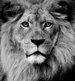 przygląda się lwa Obraz Royalty Free