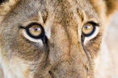 przygląda się lwa Zdjęcia Royalty Free