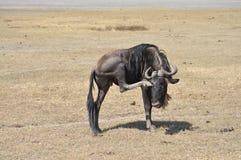 przygląda się swój chrobotliwego wildebeest Zdjęcia Royalty Free