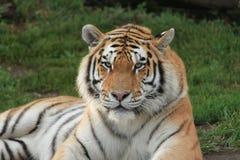 przygląda się tygrysa Zdjęcia Royalty Free