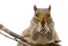 przyglądająca kamery wiewiórka Obraz Stock