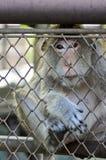 Przyglądająca Małpa Zdjęcie Royalty Free