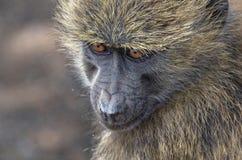 Przyglądająca małpa Zdjęcie Stock