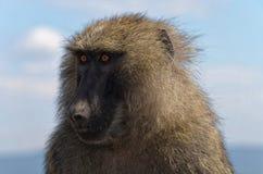 Przyglądająca małpa Zdjęcia Stock