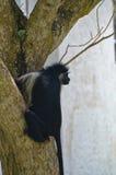 Przyglądająca małpa na drzewie Obrazy Royalty Free