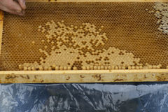 przyglądająca pszczelarki królowa Zdjęcie Royalty Free