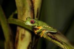 przyglądająca się żaby iv liść czerwień Obraz Stock