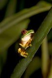 przyglądająca się żaby liść czerwień v Obrazy Stock