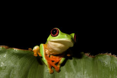 przyglądająca się żaby liść czerwień viii Zdjęcie Stock