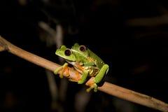 przyglądająca się żaby liść czerwień viii Obraz Royalty Free