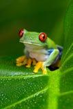 przyglądająca się amazonki Drzewna żaba (Agalychnis Callidryas) Obrazy Stock