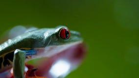przyglądająca się amazonki Drzewna żaba Agalychnis Callidryas pod deszczem obraz stock