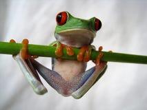 Przyglądająca się drzewna żaba 40 Obraz Stock
