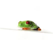 Przyglądająca się drzewna żaba Agalychnis callidryas, (118) fotografia royalty free