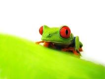 Przyglądająca się drzewna żaba Agalychnis callidryas, (128) zdjęcie stock