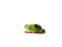 Przyglądająca się drzewna żaba Agalychnis callidryas, (131) zdjęcie stock