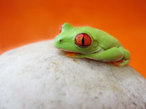 Przyglądająca się drzewna żaba Agalychnis callidryas, (147) obraz stock
