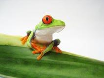 Przyglądająca się drzewna żaba Agalychnis callidryas, (152) Zdjęcia Stock