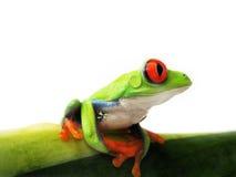 Przyglądająca się drzewna żaba agalychnis callidryas, (107) Obrazy Royalty Free