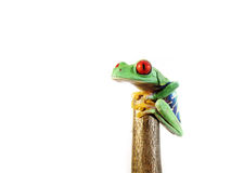 Przyglądająca się drzewna żaba agalychnis callidryas, (146) Fotografia Royalty Free