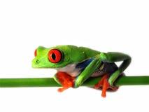 Przyglądająca się drzewna żaba agalychnis callidryas, (126) Obrazy Stock