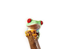 Przyglądająca się drzewna żaba 149, Agalychnis callidryas Fotografia Royalty Free
