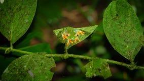 Przyglądająca się Drzewna żaba, Agalychnis callidryas nocą Fotografia Stock