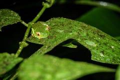 Przyglądająca się Drzewna żaba, Agalychnis callidryas nocą w Costa Rica Zdjęcia Stock