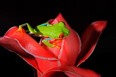 Przyglądająca się Drzewna żaba, Agalychnis callidryas, zwierzę z dużymi czerwonymi oczami w natury siedlisku, Costa Rica Piękna a Obrazy Stock
