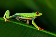 Przyglądająca się Drzewna żaba, Agalychnis callidryas, zwierzę z dużymi czerwonymi oczami w natury siedlisku, Costa Rica Piękny e Fotografia Royalty Free