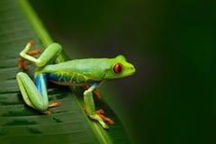 Przyglądająca się Drzewna żaba, Agalychnis callidryas, zwierzę z dużymi czerwonymi oczami w natury siedlisku, Costa Rica Żaba w n Obrazy Stock