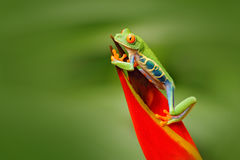 Przyglądająca się Drzewna żaba, Agalychnis callidryas, zwierzę z dużymi czerwonymi oczami w natury siedlisku, Costa Rica Żaba w n Fotografia Stock