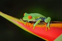 Przyglądająca się Drzewna żaba, Agalychnis callidryas, zwierzę z dużymi czerwonymi oczami w natury siedlisku, Panama Żaba od Nika Fotografia Royalty Free