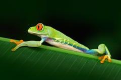 Przyglądająca się Drzewna żaba, Agalychnis callidryas, zwierzę z dużymi czerwonymi oczami w natury siedlisku, Panama Piękny egzot Obrazy Stock