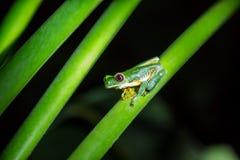 Przyglądająca się drzewna żaba na zielenieje gałąź (Agalychnis callidryas) Fotografia Royalty Free