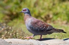 przyglądająca się gołębia czerwień Fotografia Stock