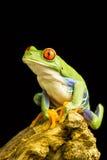 Przyglądająca się Zielona Drzewna żaba (Agalychnis callidryas) Fotografia Stock