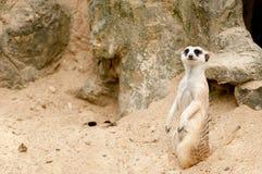 przyglądającego meercat występujący solo zegarek Zdjęcie Stock