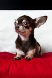 Przyglądający ładny czekoladowy chihuahua portret Obrazy Stock