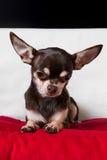 Przyglądający ładny czekoladowy chihuahua portret Zdjęcia Stock