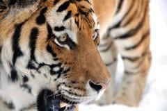 przyglądający dobra śniegu tygrys Fotografia Royalty Free