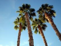 przyglądający drzewka palmowe up Zdjęcia Stock