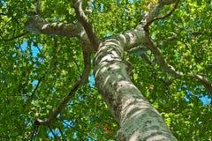 przyglądający drzewo Obraz Stock