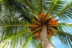 przyglądający kokosowy przyglądający drzewko palmowe Zdjęcia Stock