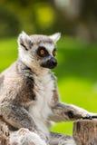Przyglądający lemur zdjęcia royalty free