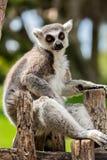 Przyglądający lemur fotografia stock
