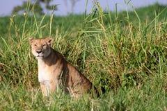 przyglądający lwica zdobycz Fotografia Stock